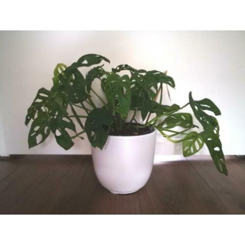Monstera adansonii, monkey mask, stekje, stek, plant